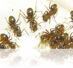 Размножение домашних муравьев