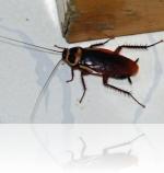 Обработка квартиры от тараканов: перед ремонтом или после?