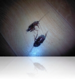Нетоксичные способы уничтожения тараканов