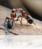Про уничтожение муравьев