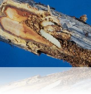 Уничтожение древо-точильщика