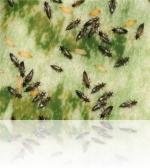 Идентификация насекомых