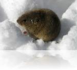 Зима время борьбы с мышами