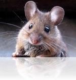 Отличие крыс от мышей