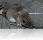 Мыши в офисе