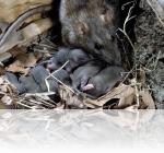 Сложности в уничтожении крыс