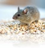 самостоятельно уничтожить мышей