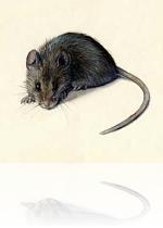 Как не допустить появления мышей в доме