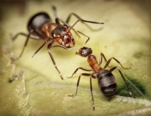 Дезинсекция муравьев